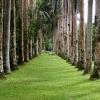 Palm-Trees-at-Lancetilla