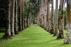 1_Palm-Trees-at-Lancetilla